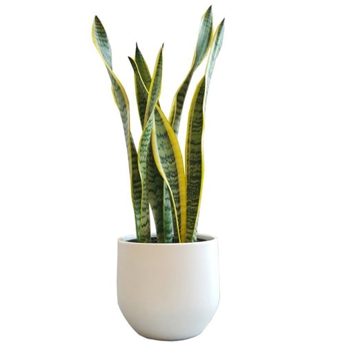 Attention-Getting Sansevieria Plant with Love